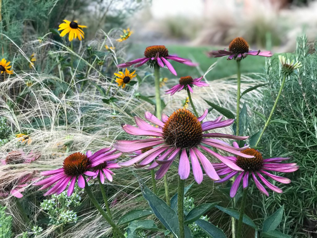 cone flower with grasses