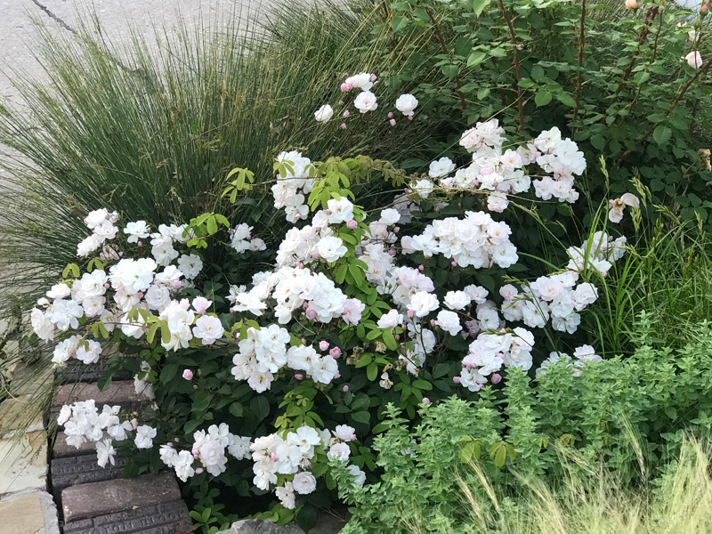 group of plants with roses and grasses