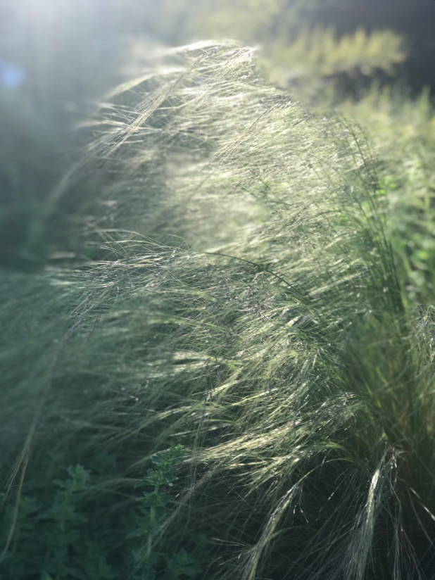 feather grass in the light
