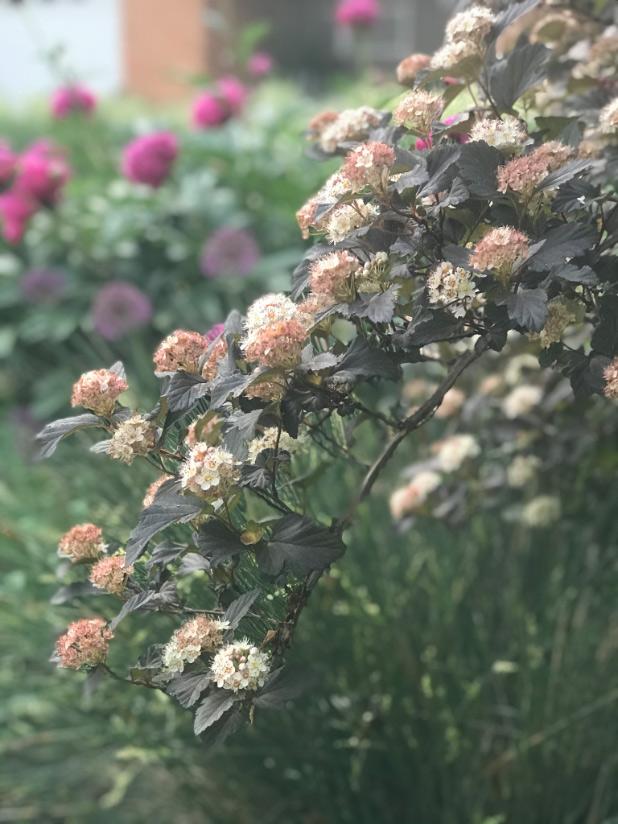 ninebark blooms