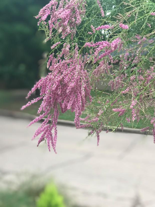 salt cedar in pink bloom