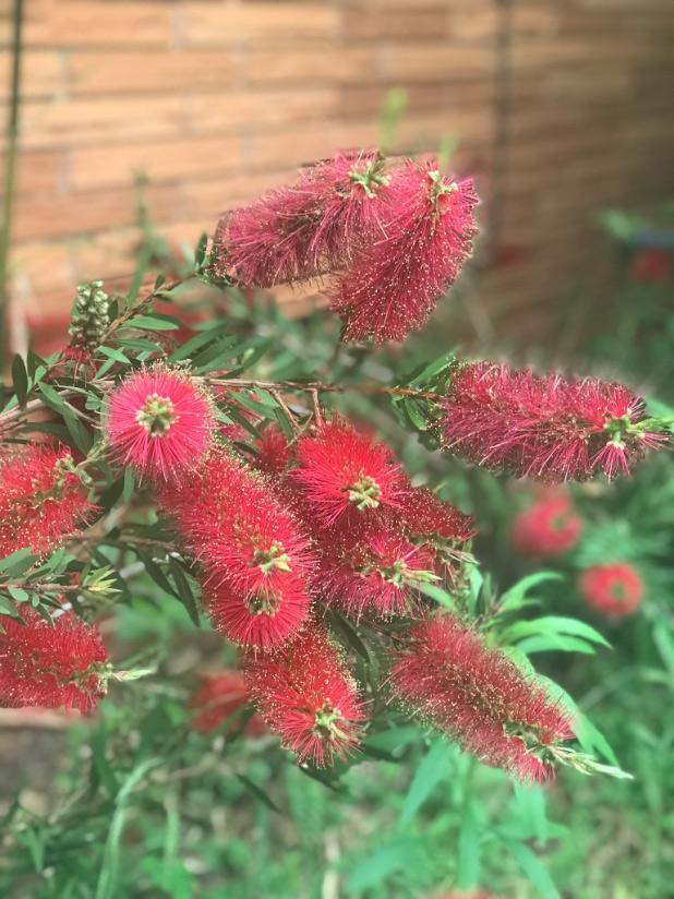 red bottlebrush blooms